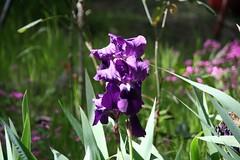 iris, flower, purple, wildflower, flora,