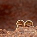 Burrowing Owl Babes