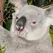 Koala Gardens, Kuranda in Queensland, Australia