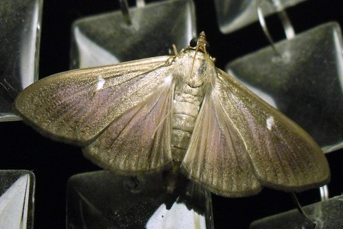 Night moth II