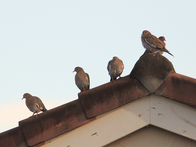 White-winged Doves 20120928