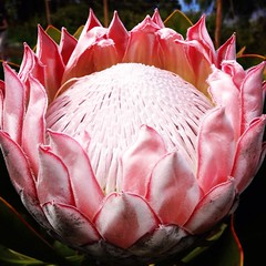 Pink King Protea- 2