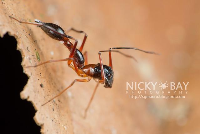 Kerrengga Ant-Like Jumper (Myrmarachne plataleoides) - DSC_8557