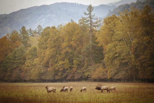 Smoky Mountian Elk Bugle