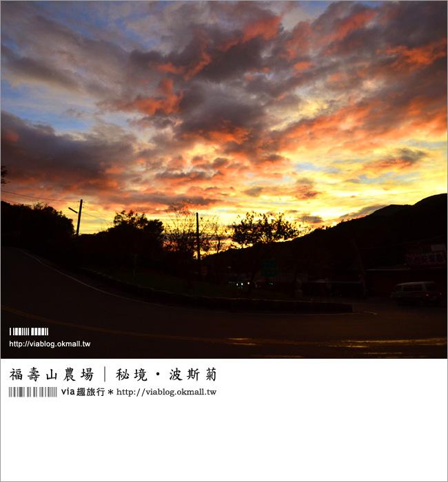【福壽山農場】福壽山波斯菊花海~秘境推薦!無敵夢幻的高山粉紅花海!