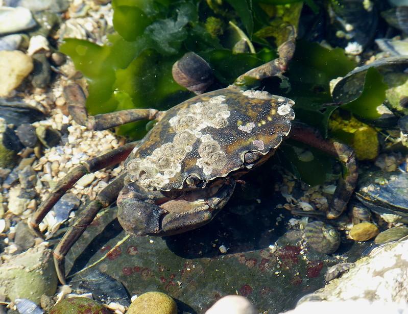 28822 - Shore Crab, Mumbles Rockpool
