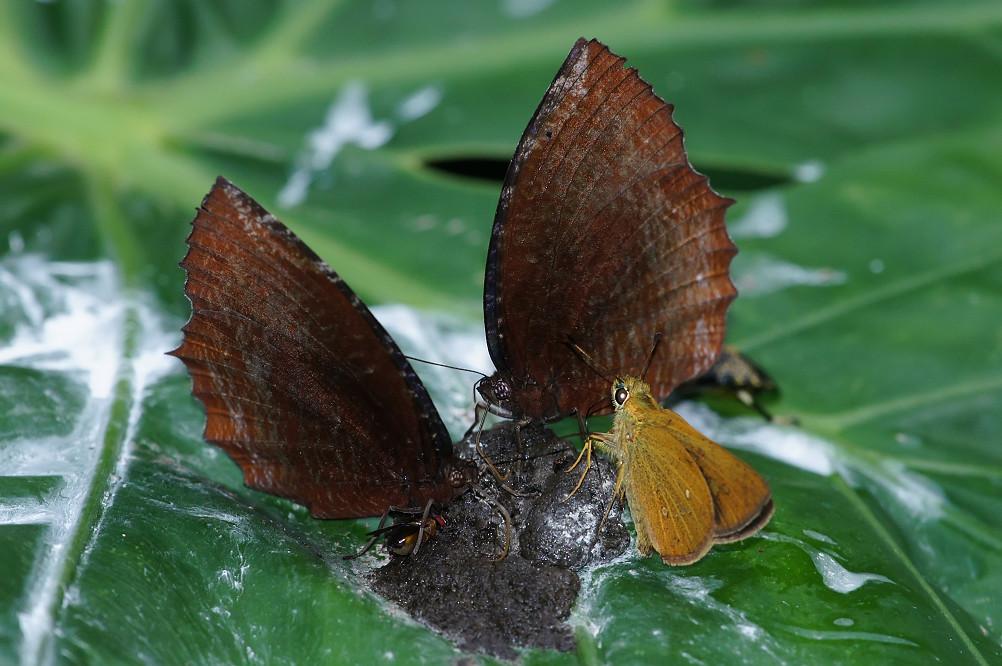 紫蛇目蝶、褐弄蝶-1