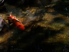 My koi pond