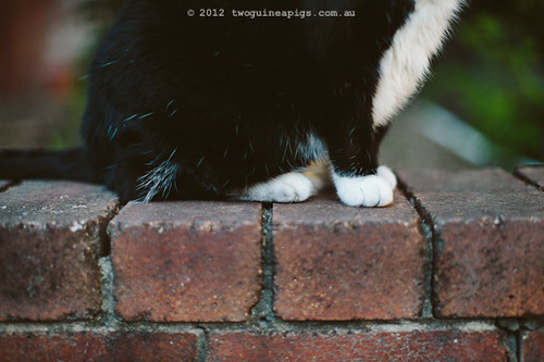 Rambo the Cat by twoguineapigs Pet Photography [6]