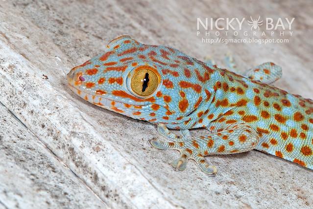 Tokay Gecko (Gekko gecko) - DSC_4564