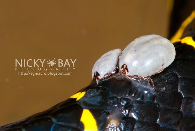 Gold-ringed Cat Snake (Boiga dendrophila) - DSC_3365