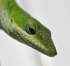 western green mamba(0.0), african chameleon(0.0), mamba(0.0), lacerta(0.0), dactyloidae(0.0), animal(1.0), green lizard(1.0), reptile(1.0), lizard(1.0), macro photography(1.0), green(1.0), fauna(1.0), close-up(1.0), scaled reptile(1.0),