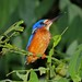 Small photo of Blue-eared Kingfisher (Alcedo meninting)