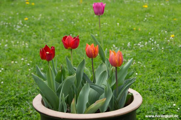 Das Ergebnis: blühende Tulpen im Topf