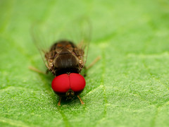 Flat-footed Fly