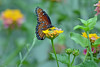 Queen Butterfly on Lantana