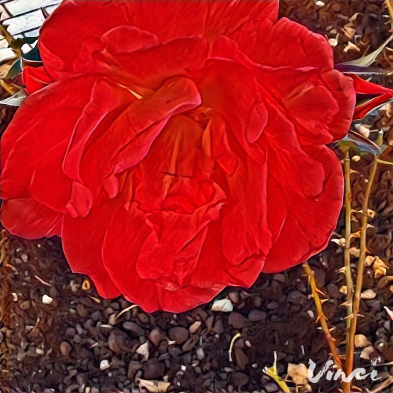 #vinci #кисловодск #rose