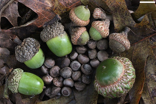 x IMG_1131 acorns small to large