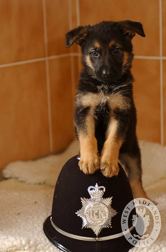 Day 247 - West Midlands Police - Police Puppy