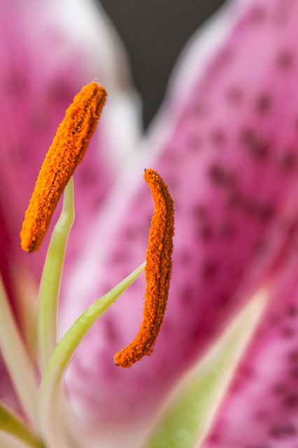 Spotted Lily, Olbrich Gardens, Madison Wisconsin