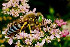 blossom(0.0), nectar(0.0), arthropod(1.0), pollinator(1.0), animal(1.0), wasp(1.0), honey bee(1.0), pollen(1.0), flower(1.0), plant(1.0), nature(1.0), invertebrate(1.0), macro photography(1.0), membrane-winged insect(1.0), wildflower(1.0), flora(1.0), fauna(1.0), close-up(1.0), bee(1.0), bumblebee(1.0), wildlife(1.0),