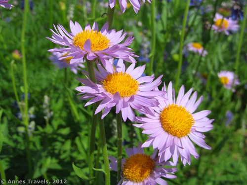 Asters along the Huckleberry Trail, Wyoming