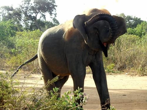 Sri Lankan Elephant, Yala