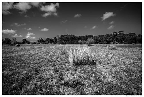 Campos de trigo