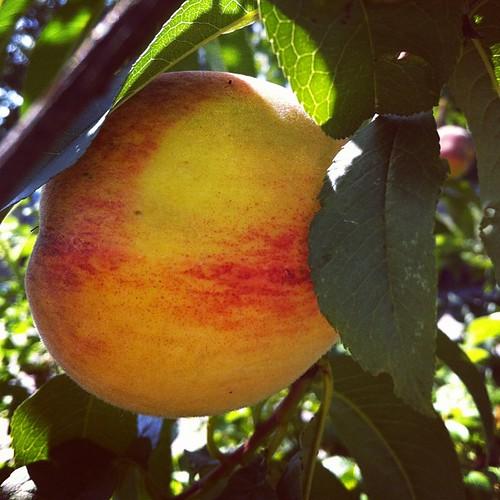 peach harvesting #maine #organicgarden #urbangarden #zone6a