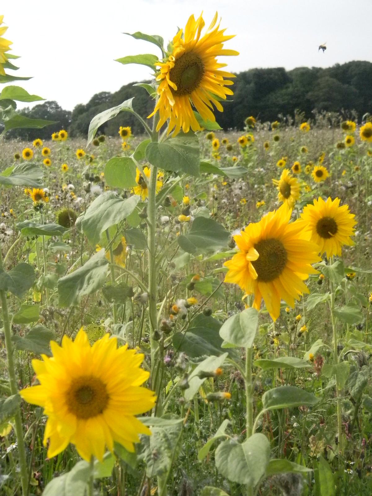 Sunflowers Chesham to Great Missenden