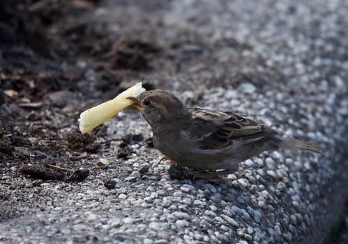 Central Park Zoo House Sparrow