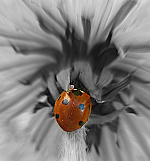 Ladybird On A B&W Dandelion...Made Explore 13/09/12 #6, thank you...