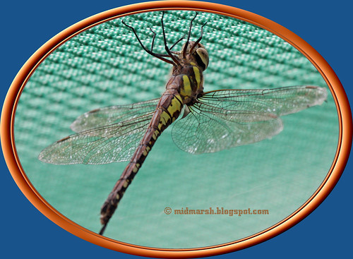 Common Hawker 01.jpg