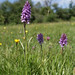 Common Spotted Orchid (Ed Drewitt)