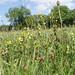 Yellow Rattle meadow (Ed Drewitt)
