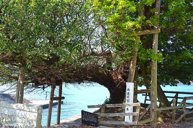 西港のアコウの木