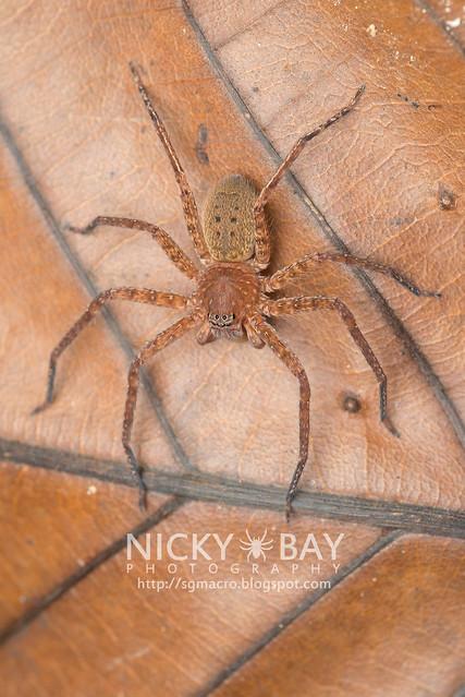 Huntsman Spider (Sparassidae) - DSC_2771