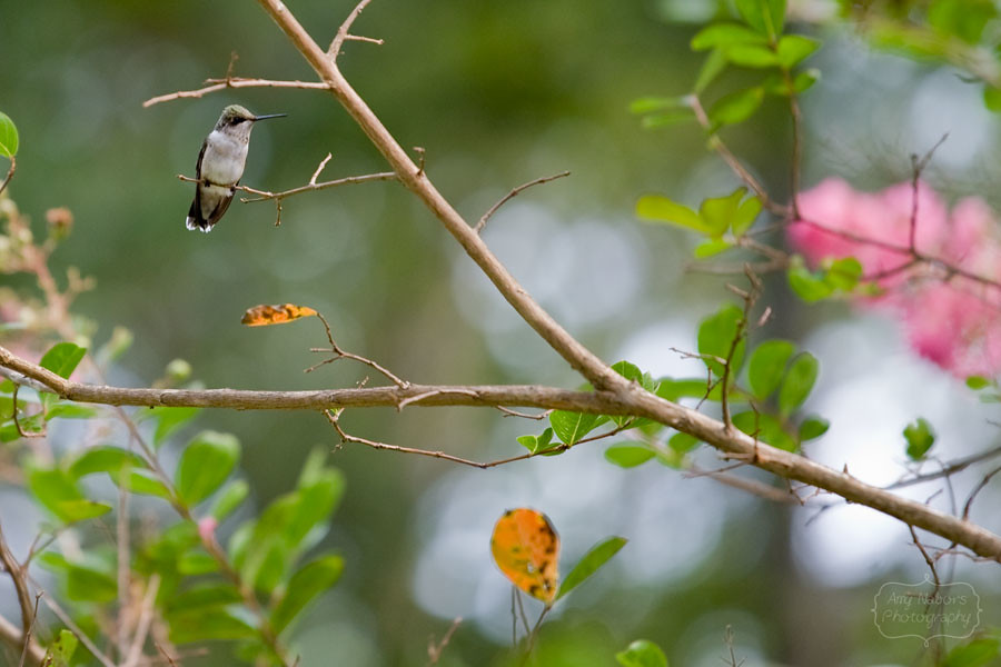 Hummingbird_Sep062012_0027