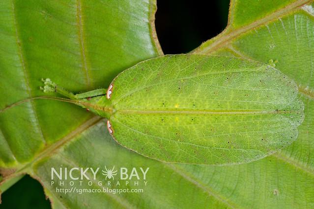 Leaf-Mimic Katydid (Chondroderella borneensis) - DSC_1622
