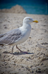 King of the seagulls (120804_ostsee x 042)