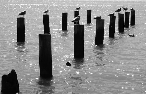 Gulls Seagulls B&W Benicia Pilings | by cdsessums