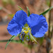 whitemouth dayflower - Photo (c) amy_buthod, some rights reserved (CC BY-NC-SA)