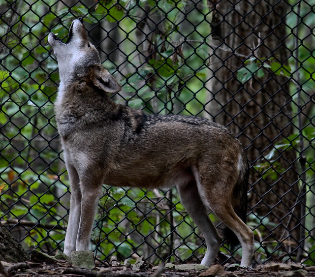 Red Wolf Howling Red wolf howling | Fli...