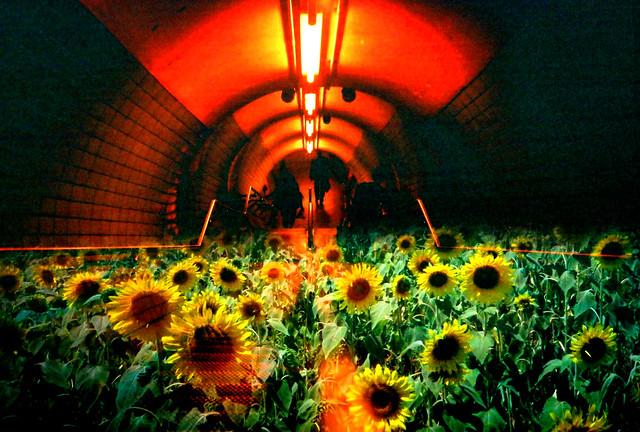 underground sunflower field / 隧道に咲く