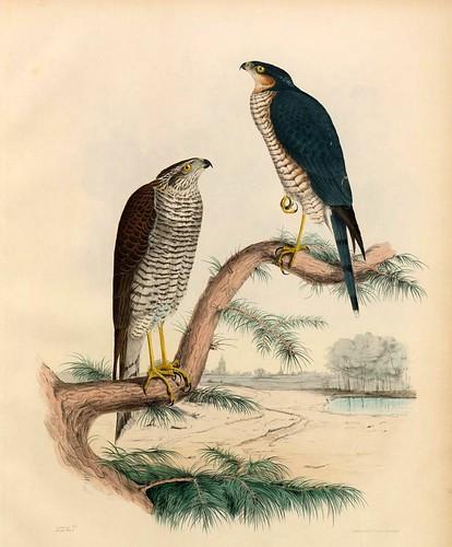 017- El Epervier Sors y el Mouchet Hagard- Traité de fauconnerie..1853- Hermann Schlegel- Universität Düsseldorf