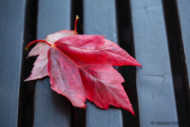 Red Maple Leaf on the seat