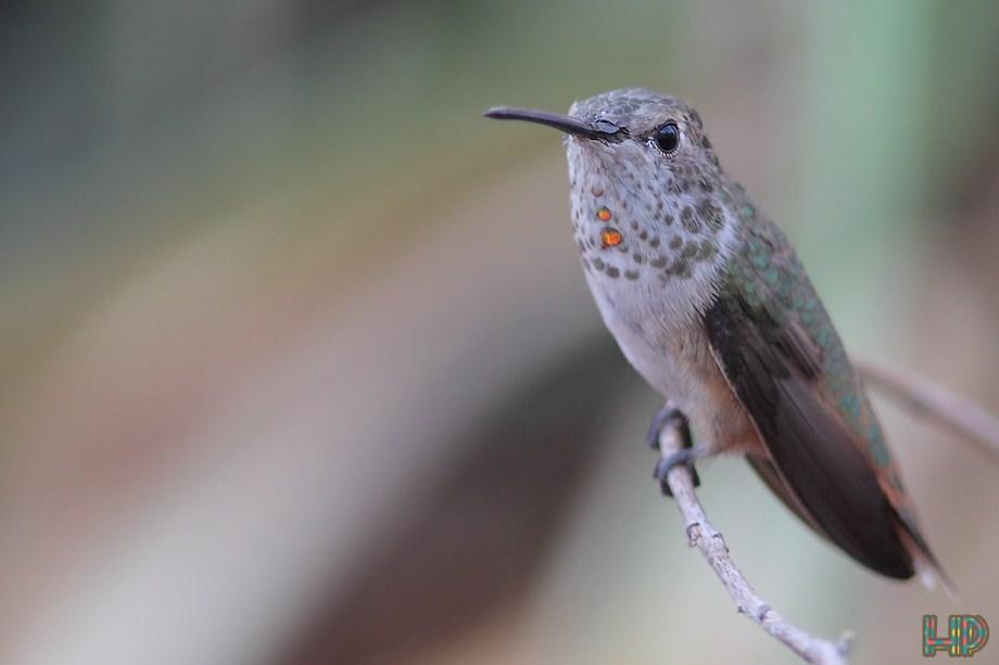 Allen's Hummingbird 092812