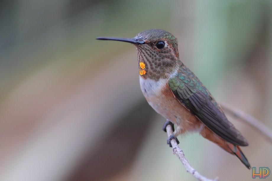 Allen's Hummingbird 092812-2