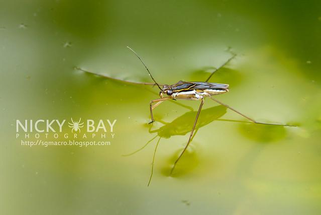 Water Strider (Gerridae) - DSC_8199