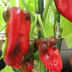 cayenne pepper(0.0), serrano pepper(0.0), flower(0.0), produce(0.0), fruit(0.0), food(0.0), chili pepper(1.0), bell pepper(1.0), vegetable(1.0), tabasco pepper(1.0), peppers(1.0), plant(1.0), bell peppers and chili peppers(1.0), bird's eye chili(1.0), peperoncini(1.0), pimiento(1.0), malagueta pepper(1.0), jalapeã±o(1.0), habanero chili(1.0),
